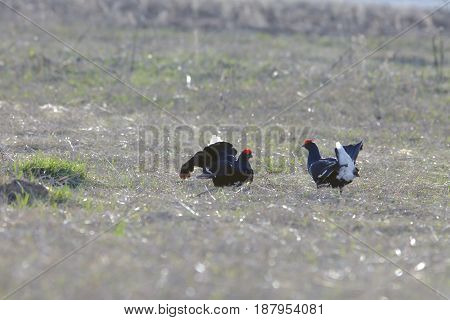 Early Morning Black Grouse On A Lek