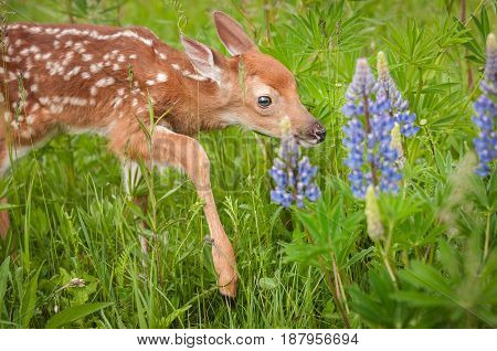 White-Tailed Deer Fawn (Odocoileus virginianus) Steps Carefully - captive animal