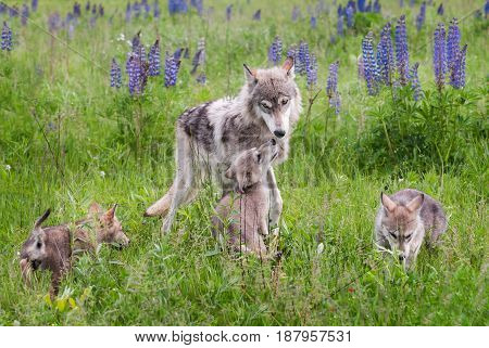 Grey Wolf (Canis lupus) and Pups in Lupin - captive animals
