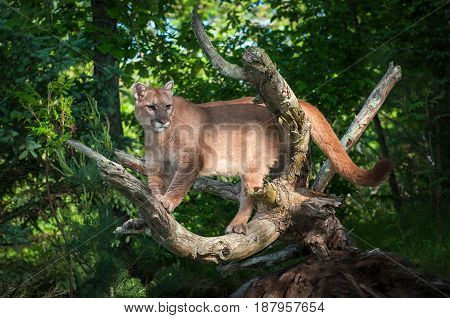 Adult Female Cougar (Puma concolor) Looks Out - captive animal