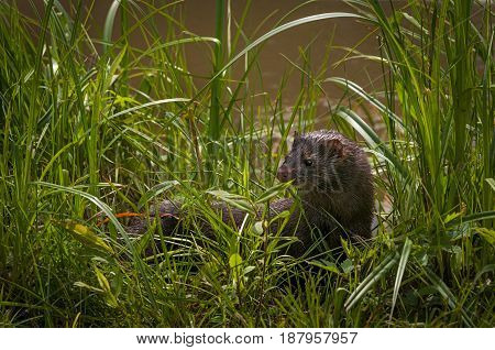 Adult American Mink (Neovison vison) Turns in Grass - captive animal