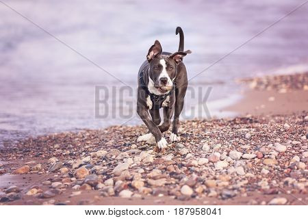 Seven months old American Staffordshire Bull Terrier playing on the beach near Lake Michigan.