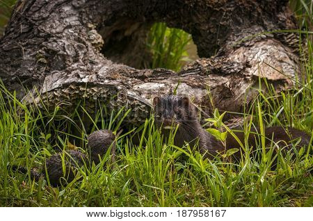 Adult American Mink (Neovison vison) and Kit - captive animals