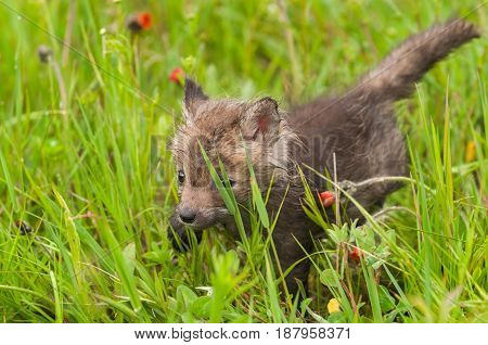 Red Fox (Vulpes vulpes) Kit Creeps Through Grass - captive animal
