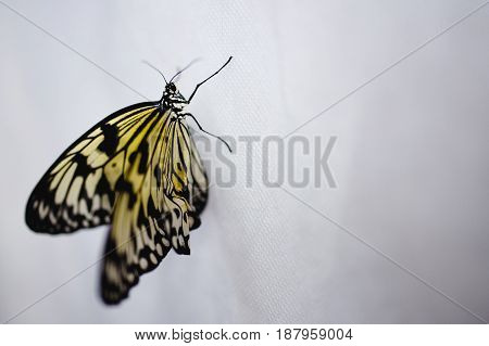 Close-up of a newly minted big butterfly Papilio merging sits on a white background