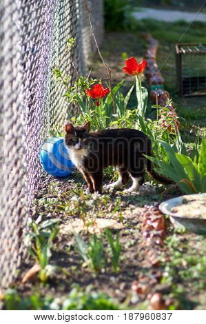 Cat walk among the tulips in a spring garden