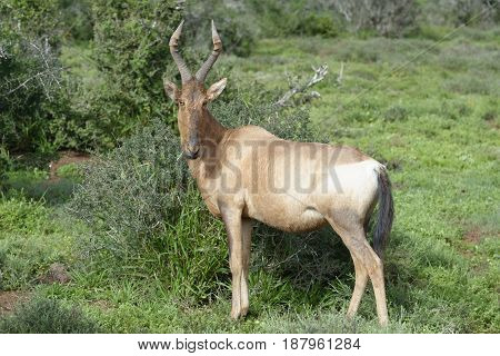 Red Hartebeest Foraging, Addo Elephant National Park