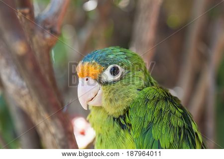 Close up of an orange fronted parakeet in the forest