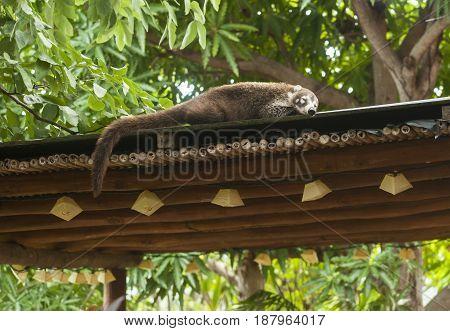 Female white nosed coati sleeping on the roof