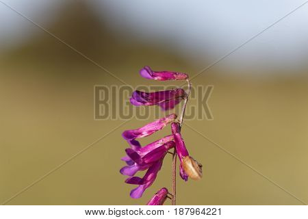 Flowers of a purple vetch (Vicia benghalensis) a Mediterranean plant.