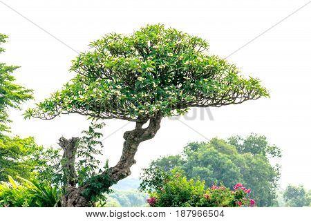 plumeria on the plumeria tree in garden