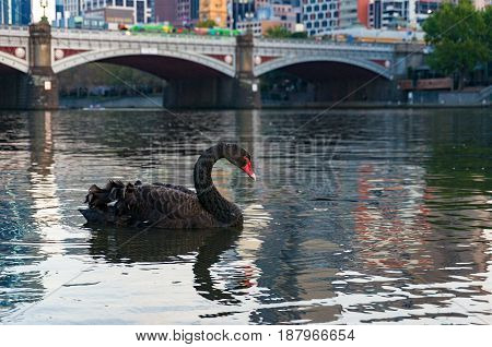 Black Swan Swimming In A River