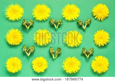 Colorful floral pattern of yellow dandelions and buds on green background. Festive spring background. Flat layout top view