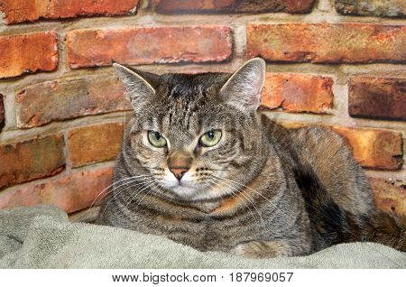 Chubby tabby cat laying in bed next to brick wall background looking to viewers left with skeptical expression