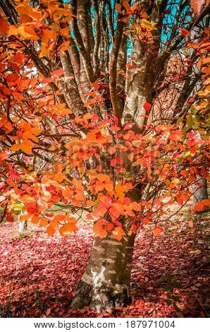 Tree With Red And Orange Leaves In Autumn.