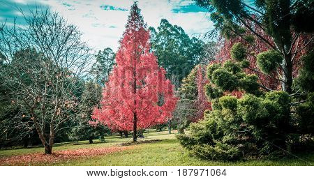 Beautiful Red Tree In Autumn. National Rhododendron Gardens, Melbourne, Australia.