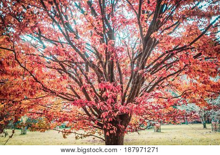 Red And Orage Leaves On A Beautiful Tree In Autumn.