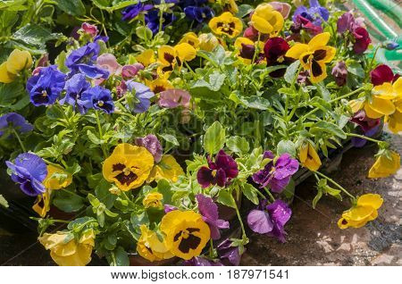 some colorful pansy's in flower pot's, athens, greece