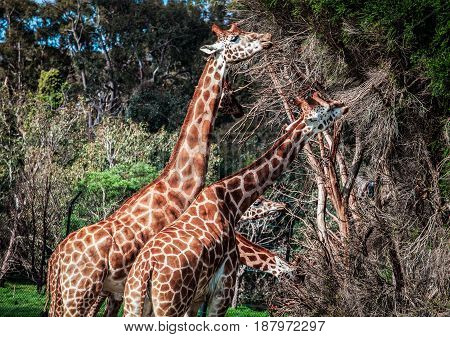 Giraffes Feeding On Acacia Tree Looking Like Four-headed Creature.