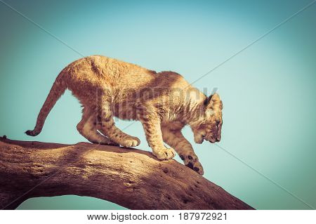 Young Lion Cub Trying To Get Down From A Tree Branch.