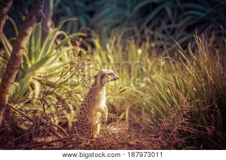 Meerkat Standing Tall And Looking Intesely Into The Distance Among Green Grass.