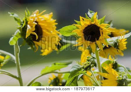 few sunflowers in free park, athens, greece