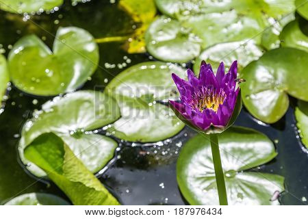 Beautiful blooming violet water lily (lotus) with flying foraging bees blurred lotus leaves in background with bokeh in the pond take photo from Thailand.