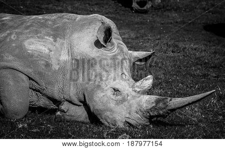 The Souther Rhino Extreme Closeup In Black And White.