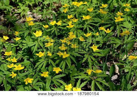 Yellow anemone flowers (Anemone ranunculoides). Spring blossom in the forest.