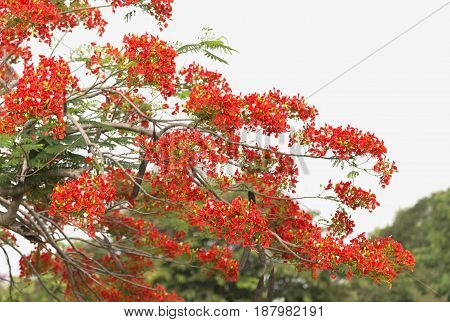 Red Peacock flower tree on blur background.
