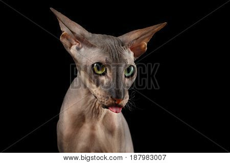 Curious Portrait of Peterbald naked Cat with odd eyes and funny face, showing tongue on isolated black background, Front view