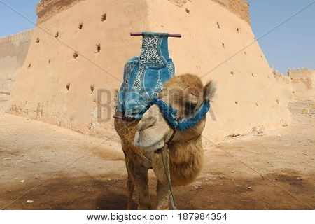 Brown Camel With A Thick Coat