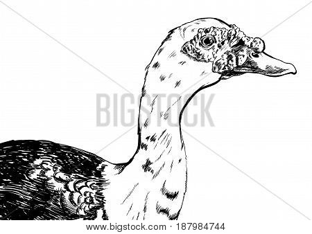 hand drawn duck vector on white background