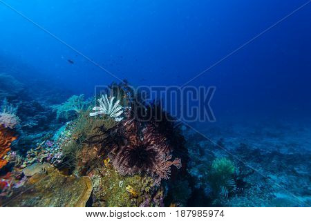 Different Feather Stars Balinese diving in Indonesia