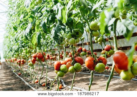 Bushes Red and green selected tomatoes in a polycarbonate greenhouse