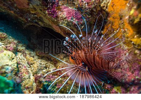 Agressive lion fish Balinese diving in Indonesia