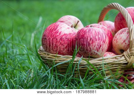ripe red apples in a basket on the grass
