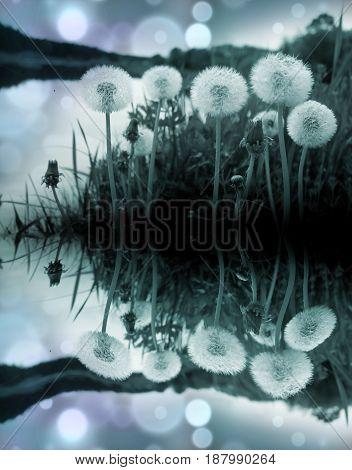White fluffy dandelions in the dark. Fantasy.