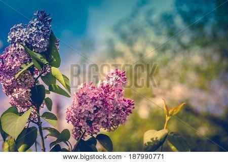 Lilac Spring Flowers Retro
