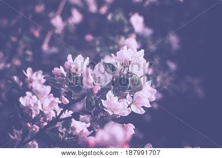Spring Apple Blooming Trees Filtered
