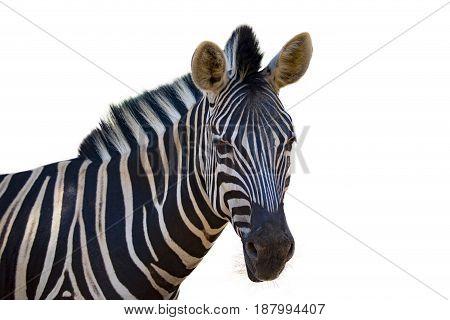 Image of an zebra on white background. wild animals.