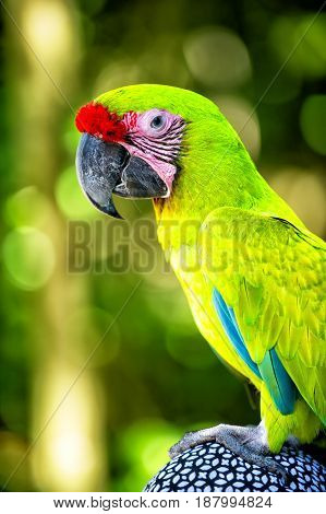 beautiful cute funny bird of green and red feathered ara parrot outdoor on green natural background