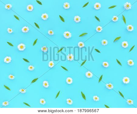 Daisy Flowers Bellis perennis and green leaves on turquoise blue as background. Flat lay and top view.