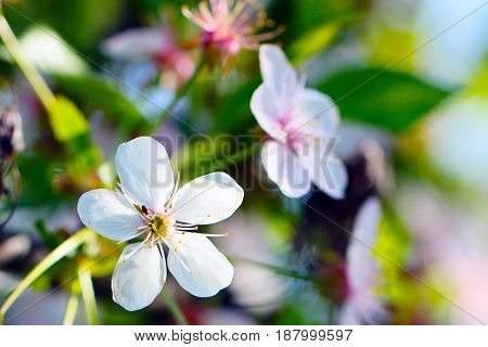 Beautiful bright flowers on the branches of the apple tree on a spring sunny day