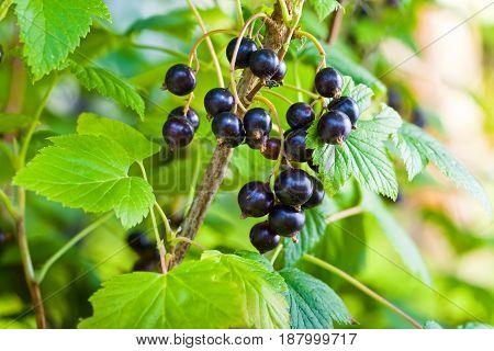 Black Currant In Garden
