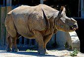 Horned Rhinoceros poster