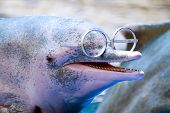 close up on dolphin by the pool with glasses on the nose poster