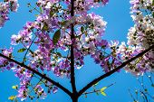 The lagerstroemia indica were blooming in nature poster