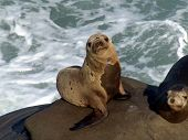 seal pup on the cliffs of la jolla, california poster