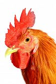 isolated image of a rooster poster